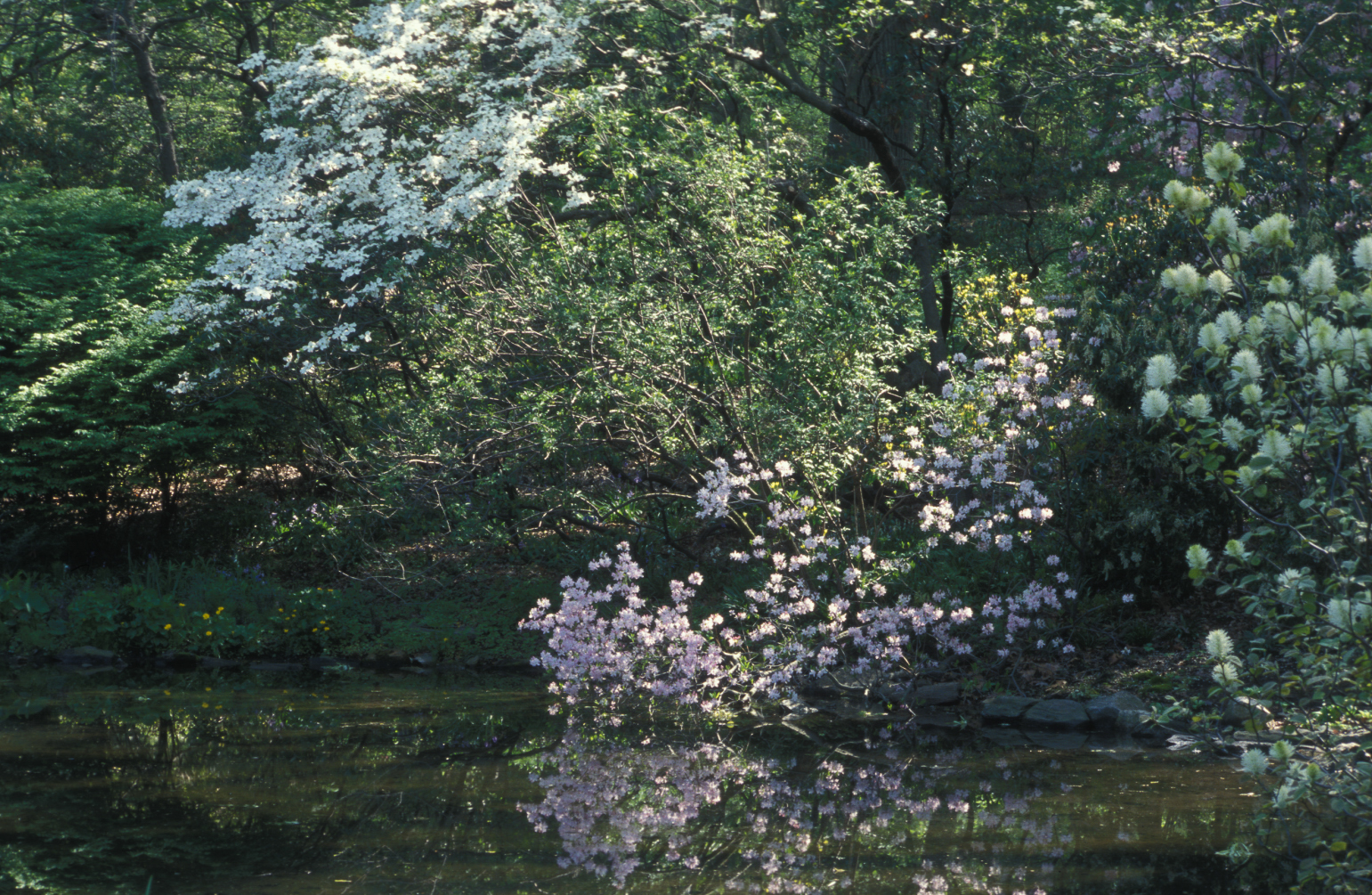 Pond edge in early spring at NYBG with Cornus, Rhododendron schlippenbachii and Fothergilla major.